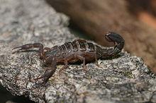 Scorpion - Wikipedia