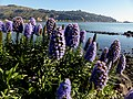 Pride of Madeira.(Echium candicans) (14327908576).jpg