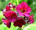 Primula anisodora flowers.jpg