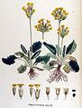 Primula officinalis — Flora Batava — Volume v17.jpg