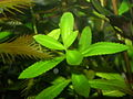 Proserpinaca palustris 004.jpg