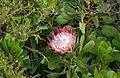 Protea - Jardin exotique de Roscoff 4.JPG