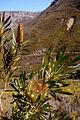 Protea repens (3).JPG