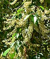 Prunus brachybotrya 5.jpg