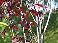 Prunus cerasifera Thundercloud 0zz.jpg