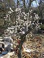 Prunus mume Gyokugakushidare1.jpg