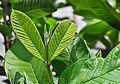 Psidium guajava leafbud 26032014.jpg
