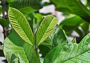 Psidium guajava - Leafbud