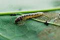 Psilocorsis quercicella Larva.jpg