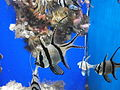 Pterapogon kauderni in aquarium.JPG