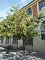 Pterocarya fraxinifolia 1.jpg