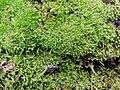 Ptychostomum capillare 101101666.jpg