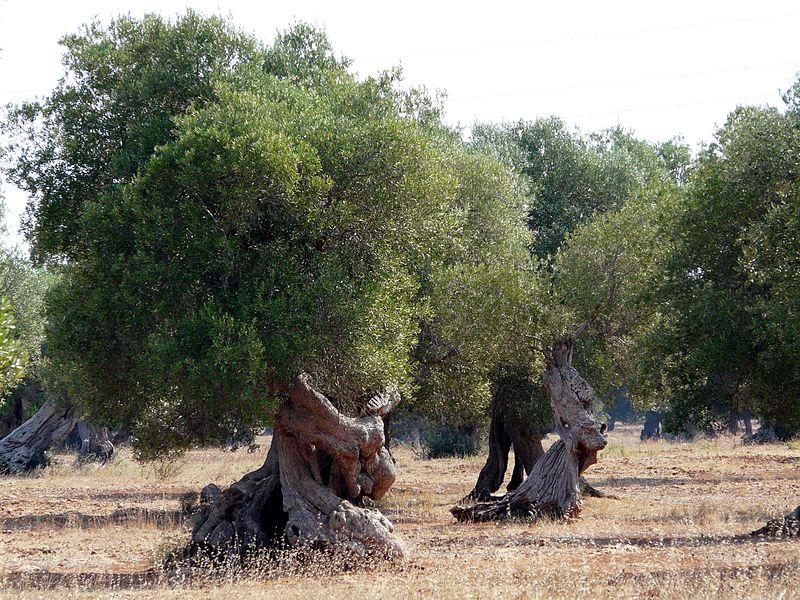 File:Puglia - Salento - ulivi giganti secolari.JPG