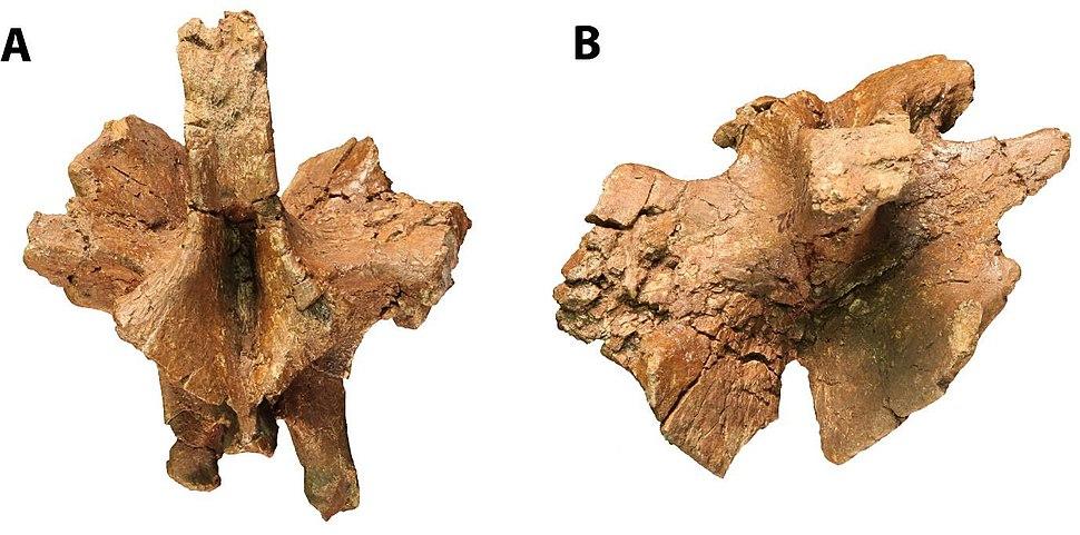 Pulanesaura dorsal vertebra