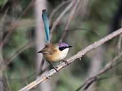 "Purple-crowned Fairy-wren ""Malurus coronatus"".jpg"