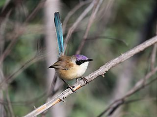 Purple-crowned fairywren Species of songbird endemic to northern Australia in the family Maluridae