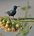 Purple Sunbird (Cinnyris asiaticus) at Kapok (Ceiba pentandra) in Kolkata W IMG 3824.jpg