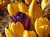 Purple crocus blooming among yellow crocuses blooming.jpg
