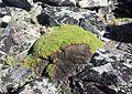 Purple mountain saxifrage - Flickr - brewbooks (1).jpg