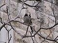 Pycnonotus xanthopygos jerusalem.jpg