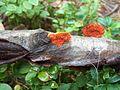 Pycnoporus cinnabarinus - Punakääpä, Cinnoberticka C HPIM8707-p.jpg