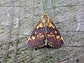 Pyrausta aurata (2943655595).jpg