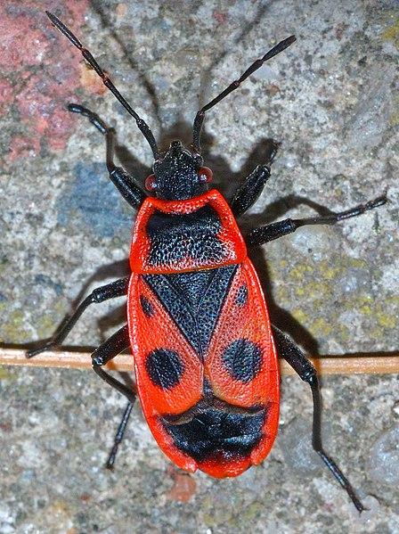 File:Pyrrhocoris apterus (aka).jpg