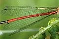 Pyrrhosoma.nymphula.wing.detail.jpg