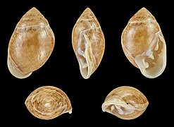 Pythia plicata 01.JPG