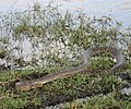 Python natalensis Botswana water.jpg