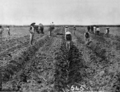 Queensland State Archives 1893 Chinese canegrowers planting sugar cane near Cairns c 1878.png