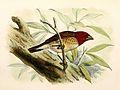 Quelea erythrops 1869.jpg