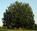 Quercus robur 'Fastigiata' - France 2006.jpg