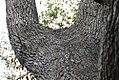 Quercus virginiana 36zz.jpg