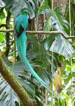 Boquete, Chiriquí - Resplendent Quetzal from tour with Boquete Mountain Safari, Quetzal Trail, Boquete, Panama