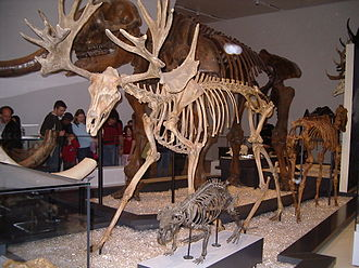 Cervalces scotti - Skeleton in Royal Ontario Museum