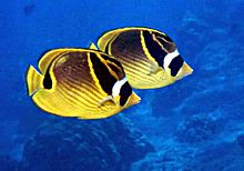 Raccoon butterflyfish.jpg