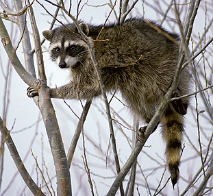 Raccoon medium sized procyonid mammal native to North America