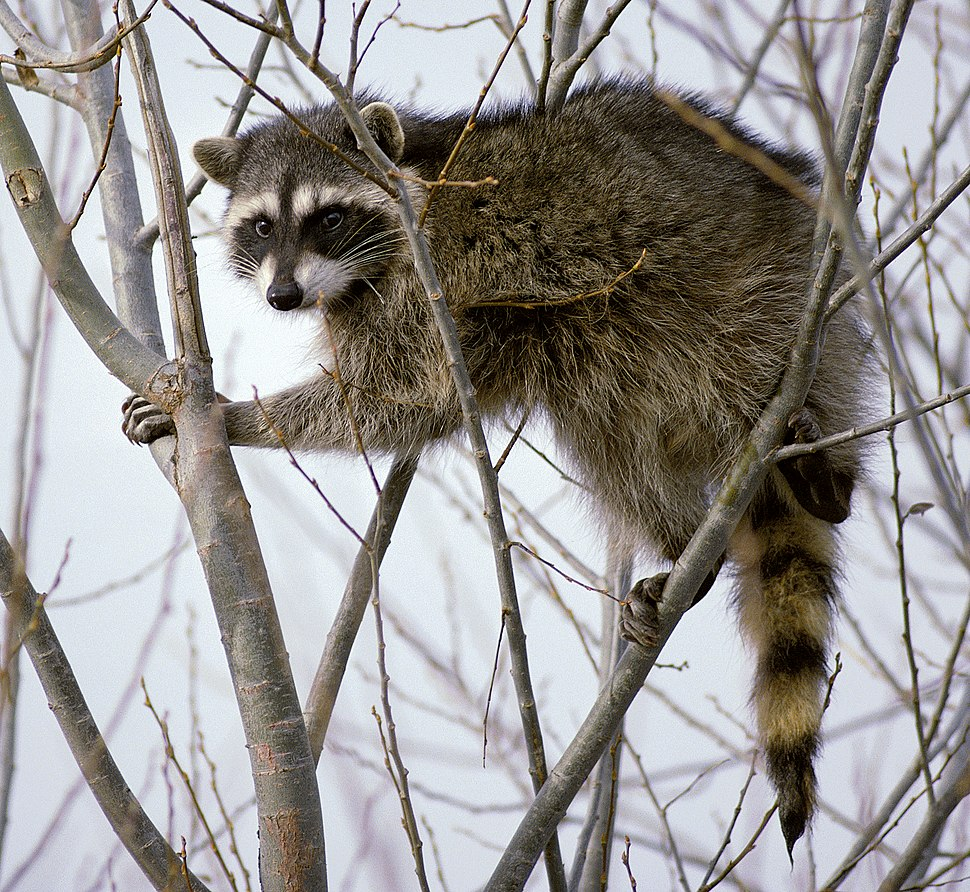 Raccoon climbing in tree - Cropped and color corrected