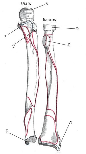 UCL anatomy/Radius and Ulna - Wikiversity