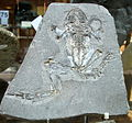 Rana pueyoi - Mioceno - Libros, Teruel - Museo Geominero, Madrid 01.JPG