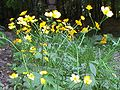 Ranunculus acris ENBLA01.JPG