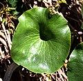 Ranunculus lyallii in Aoraki Mount Cook NP 02.jpg