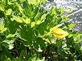Ranunculus repens (5434508169).jpg