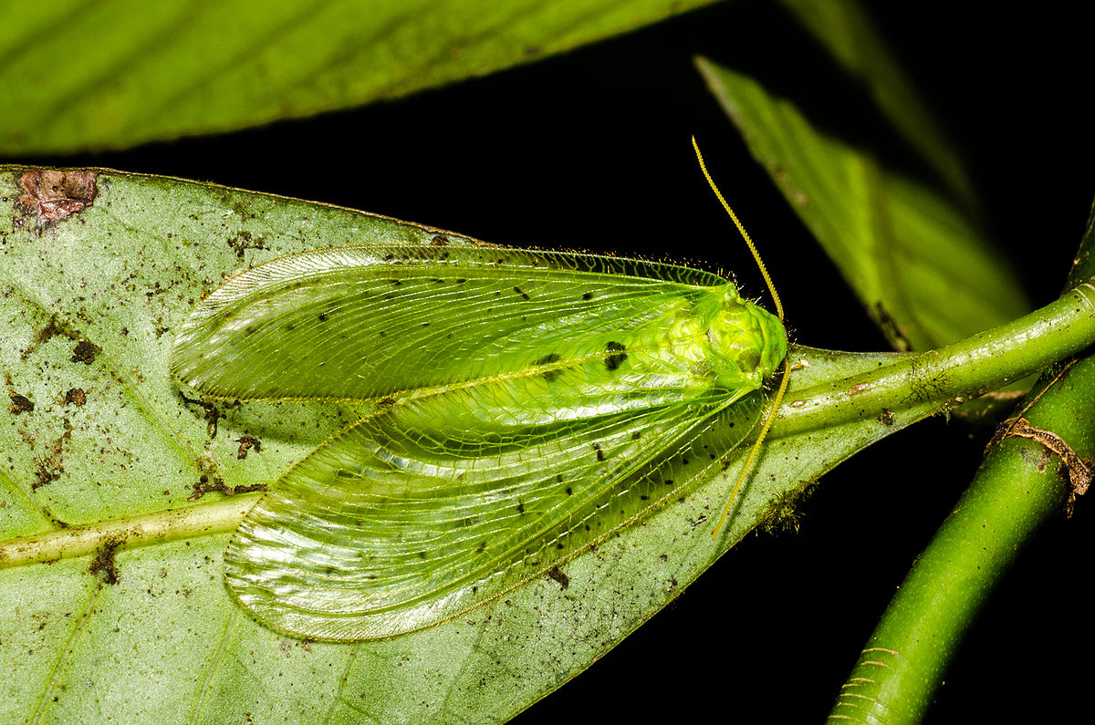 Moth Lacewing Wiktionary