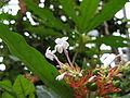 Rauwolfia serpentina(Flower).jpg