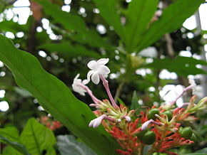 Description de l'image Rauwolfia serpentina(Flower).jpg.