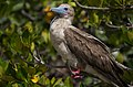 Red-Footed perched (6519179239).jpg