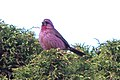 Red-mantled Rosefinch (Carpodacus rhodochlamys) (8079449439).jpg