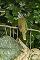 Red-tailed Greenbul - Ghana S4E1441 (16865811439).jpg